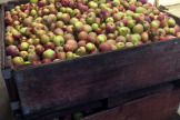Apples For Sparkling Apple Cider