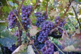 Grapes On Vine 2