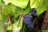 Grapes On Vine 3